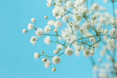 Gypsophila Royalty Free Stock Image