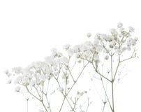 Gypsophila imagens de stock royalty free