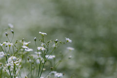 Gypsophila Royaltyfria Bilder