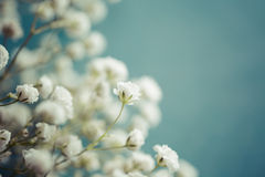 Gypsophila (Baby's-breath flowers) Royalty Free Stock Image