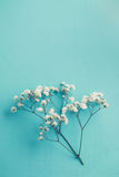 Gypsophila Stock Photos