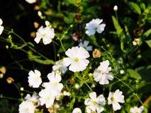Gypsophila elegant Lizenzfreies Stockbild