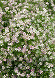 Gypsophila flower Stock Image
