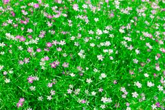 Gypsophila Flower Stock Images