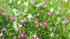 Gypsophila flower stock video footage