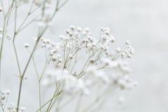 Gypsophila flower Stock Photos
