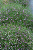Gypsophila flower background Stock Image