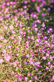 Gypsophila flower Stock Photography