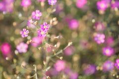 Gypsophila flower Royalty Free Stock Image