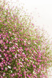 Gypsophila flower Royalty Free Stock Photography