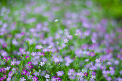 Gypsophila flower Royalty Free Stock Photo