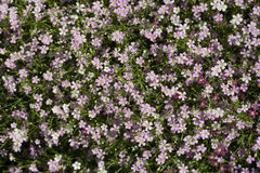 Gypsophila flowers Royalty Free Stock Image