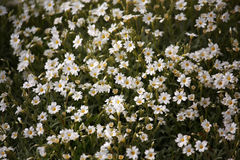 Gypsophila flowers background, natural texture. Royalty Free Stock Photos