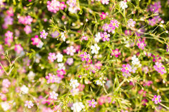 Gypsophila flowers Royalty Free Stock Images