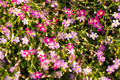 Gypsophila flowers Stock Images