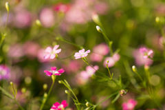 Gypsophila flowers Stock Image