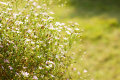 Gypsophila flowers in the garden Stock Photos