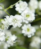 Baby`s Breath closeup macro Royalty Free Stock Images