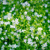 Gypsophila greenery Stock Photos