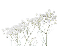 Gypsophila Royalty Free Stock Images
