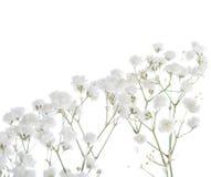 Gypsophila isolated on white background. Stock Images