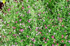 Gypsophila in kleinem Garten A vor dem Stadium stockbild