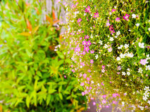 Gypsophila  little flowers Stock Photos
