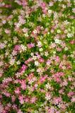 Gypsophila paniculata Immagine Stock