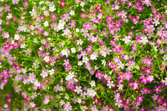 Gypsophila paniculata Royalty Free Stock Photography