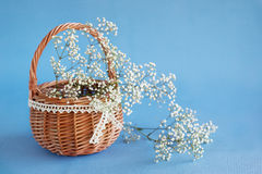 Gypsophila paniculata in the basket Stock Images