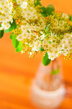 Gypsophila paniculata flowers Royalty Free Stock Image