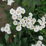 Gypsophila paniculata Royalty Free Stock Image