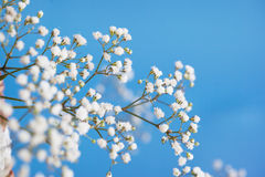 Gypsophila paniculata, light, airy masses Stock Images