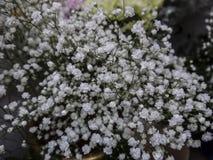 Gypsophila paniculata per la decorazione dei mazzi immagini stock libere da diritti
