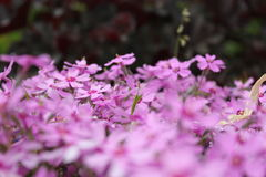 Gypsophila. Pink gypsophila blossom in the garden Stock Photo