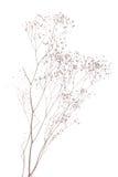 Gypsophila secco Fotografia Stock
