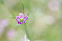 Gypsophila spring flower bloom, macro shot on sweet soft green-p Stock Image