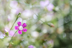 Gypsophila spring flower bloom with water drops on petals, macro stock photography