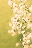 Gypsophila Royalty Free Stock Images