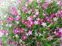 Gypsophilablomma Royaltyfri Foto