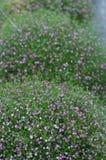 Gypsophilablommabakgrund Fotografering för Bildbyråer