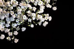Gypsophilablumen Stockfotos