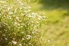 Gypsophilaen blommar i trädgården Arkivfoton