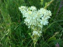 Gypsophilaoldhamiana - blomma för brud` s arkivbilder