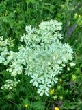 Gypsophilaoldhamiana - blomma för brud` s royaltyfri foto