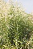 Gypsophilapaniculata Royalty-vrije Stock Afbeeldingen