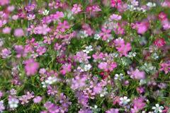 Gypsophilapaniculata Stock Fotografie