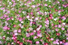 Gypsophilapaniculata Royalty-vrije Stock Foto