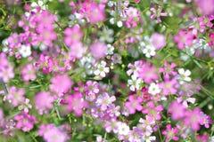 Gypsophilapaniculata Stock Afbeelding