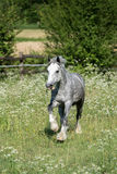Gypsy Cob at canter. Gypsy Cob with blue eye at canter in a field stock image